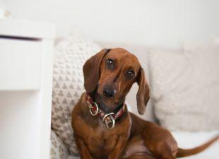 dachshund-on-bed-1139794